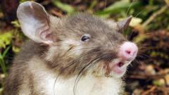 A hog-nosed rat
