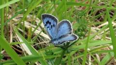 large-blue-butterfly.