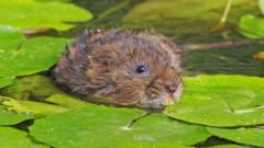 A water shrew in water