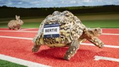 Bertie the tortoise