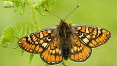 The Marsh Fritillary butterfly