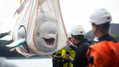 beluga whale being transported
