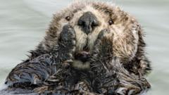 sea otter in the water looking shocks
