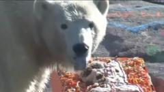 Polar bear eating a cake
