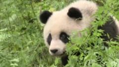 Hua Jiao, a giant panda