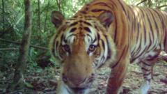 Indochinese tiger, eastern Thailand