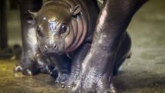 Baby hippo at Bristol Zoo