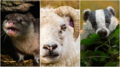 Image split into three. On the left is an angry looking otter, in the middle is an irritated looking sheep and on the far right is a timid looking badger.