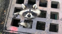 raccoon-stuck-in-drain.