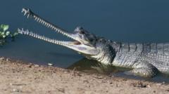 crocodile species gharial