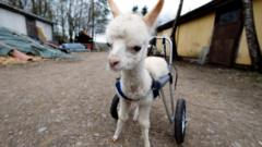baby-alpaca-in-harness