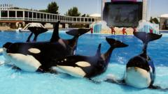 Orcas performing at San Diego SeaWorld