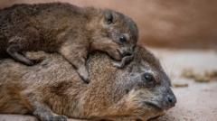 hyrax pups