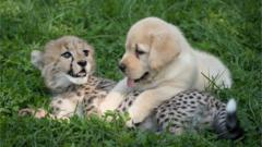 Cheetah cub and puppy together