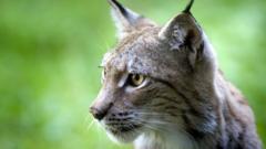 eurasian-lynx.