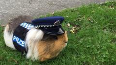 Elliot the guinea pig