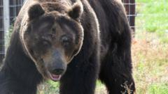 One of the bears, Kai, steps outside in to his new home for the first time.