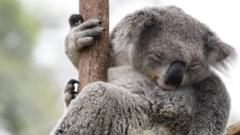 koala-asleep-in-a-tree
