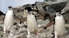 chinstrap-penguin.