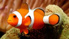 A Clownfish is seen June 25, 2003 at New World Aquarium in New York City.