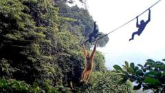 Gibbons on the rope bridge