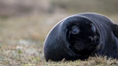 black melanistic seal