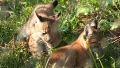 Lynx cubs at Whipsnade Zoo