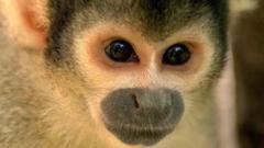 A monkey at Chessington Zoo