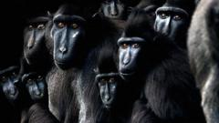 a large group of monkeys staring forward