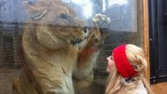 Hayley travels to France to help rescued circus lions find new home