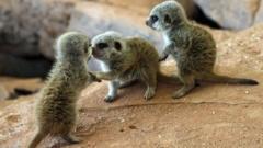 The meerkat triplets at Bristol Zoo