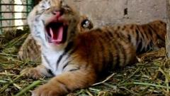 One of the tiger cubs