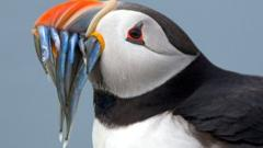 Puffin eating fish