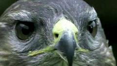 Close up of a buzzard