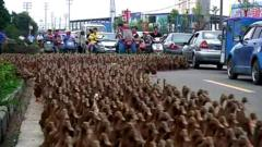 Ducks walking down a street