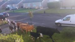 Cows run down a quiet street