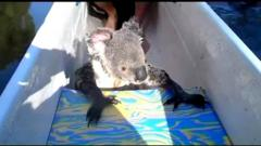 Koala hitches a canoe ride!