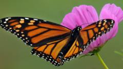 A monarch butterfly on a flower