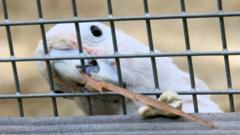 Figaro the Cockatoo