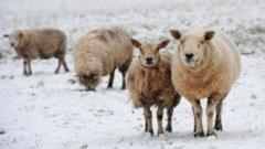 Sheep stand in a snow covered field in Yorkshire