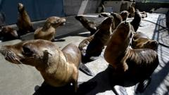 Sea lions washed up in California