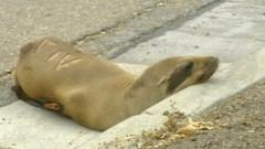 Sea lion pup on road