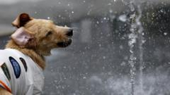 A dog plays in a fountain to cool down in the hot weather