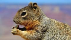It is a picture of a squirrel from the Grand Canyon nibbling on a piece of apple.