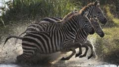 Zebras in Nairobi jumping out of water