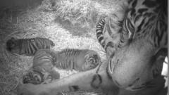 The triplet of Sumatran tiger cubs were born to five-year-old Sumatran tigress Melati