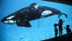 A killer whale at seaworld