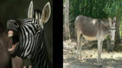 Zebra and a donkey