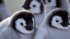Emperor penguins
