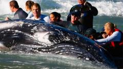 Sea World marine rescuer workers try to rescue a humpback whale